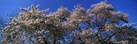 """Top of a Cherry blossom, St. James's Park, London, England by Panoramic Images - 28"""" x 9"""""""