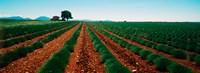 """Harvested lavender field, Plateau De Valensole, Alpes-De-Haute-Provence, Provence-Alpes-Cote d'Azur, France by Panoramic Images - 25"""" x 9"""""""