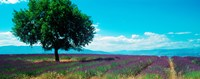 """Tree in the middle of a Lavender field, Provence-Alpes-Cote d'Azur, France by Panoramic Images - 23"""" x 9"""""""