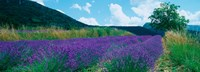 """Lavender field, Provence-Alpes-Cote d'Azur, France by Panoramic Images - 25"""" x 9"""""""
