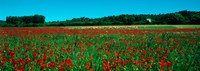 """Poppies and sheep in a field, Provence-Alpes-Cote d'Azur, France by Panoramic Images - 25"""" x 9"""""""