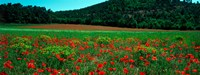 """Poppies in a field, Provence-Alpes-Cote d'Azur, France by Panoramic Images - 24"""" x 9"""" - $28.99"""