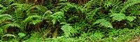"Ferns in front of Redwood trees, Redwood National Park, California, USA by Panoramic Images - 29"" x 9"" - $28.99"