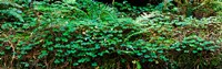 """Clover and Ferns on downed Redwood tree, Brown's Creek Trail, Jedediah Smith Redwoods State Park, California, USA by Panoramic Images - 29"""" x 9"""""""