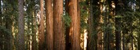 "Redwood trees in a forest, Sequoia National Park, California, USA by Panoramic Images - 25"" x 9"""
