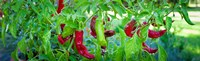 Santa Fe Grande Hot Peppers on bush Fine Art Print