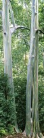 "Trees in a forest, Hawaii, USA by Panoramic Images - 9"" x 28"""