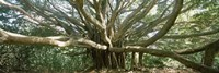 Banyan tree stretches in all directions, Maui, Hawaii, USA Fine Art Print