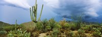 "Cacti growing at Saguaro National Park, Tucson, Arizona by Panoramic Images - 25"" x 9"""