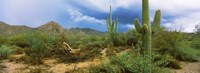 "Saguaro cactus (Carnegiea gigantea) in a desert, Saguaro National Park, Arizona by Panoramic Images - 25"" x 9"""