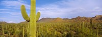 "Cactus Field, Saguaro National Park, Arizona by Panoramic Images - 25"" x 9"""
