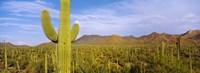 Cactus Field Saguaro National Park Arizona