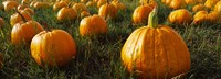 "Close Up of Pumpkins in a  Field, Half Moon Bay, California by Panoramic Images - 25"" x 9"""