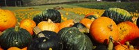 Pumpkin Field Half Moon Bay California