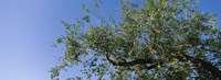 """Low angle view of a tree branch against blue sky, San Rafael Valley, Arizona, USA by Panoramic Images - 25"""" x 9"""""""