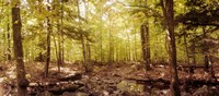 """Forest, Catskill Mountains, New York State, USA by Panoramic Images - 20"""" x 9"""", FulcrumGallery.com brand"""