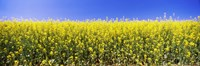 "Close up of Canola in bloom, Idaho by Panoramic Images - 27"" x 9"", FulcrumGallery.com brand"