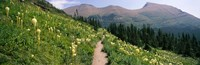 "Hiking trail with Beargrass (Xerophyllum tenax) at US Glacier National Park, Montana by Panoramic Images - 28"" x 9"""