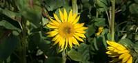 Bee on Sunflower Baden-Wurttemberg Germany