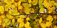 Detail of Autumn Leaves Baden-Wurttemberg Germany