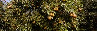 "Close Up of Pear trees in an orchard, Hood River, Oregon by Panoramic Images - 28"" x 9"", FulcrumGallery.com brand"
