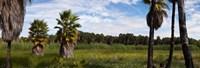 "Grove of Mexican fan palm trees near Las Palmas Beach, Todos Santos, Baja California Sur, Mexico by Panoramic Images - 26"" x 9"" - $28.99"