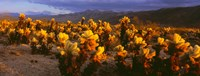 Cholla cactus at sunset, Joshua Tree National Park, California Fine Art Print