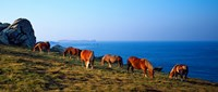 """Celtic horses grazing at a coast, Finistere, Brittany, France by Panoramic Images - 21"""" x 9"""""""
