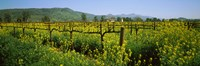 """Wild mustard in a vineyard, Napa Valley, California by Panoramic Images - 28"""" x 9"""""""