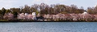 "Cherry Blossom trees near Martin Luther King Jr. National Memorial, Washington DC by Panoramic Images - 27"" x 9"""