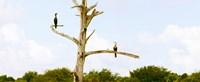 "Low angle view of Cormorants (Phalacrocorax carbo) on a tree, Boynton Beach, Florida, USA by Panoramic Images - 22"" x 9"""