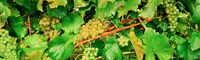"""Ripe green grapes on the vine, Quebec, Canada by Panoramic Images - 30"""" x 9"""""""