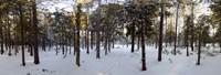 """Forest in winter, Quebec, Canada by Panoramic Images - 26"""" x 9"""", FulcrumGallery.com brand"""