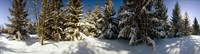 """Snow covered pine trees, Quebec, Canada by Panoramic Images - 34"""" x 9"""""""