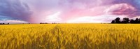"""Wheat crop in a field, Saint-Blaise-sur-Richelieu, Quebec, Canada by Panoramic Images - 26"""" x 9"""""""
