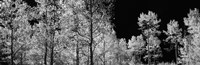 "Aspen trees with foliage in black and white, Colorado, USA by Panoramic Images - 28"" x 9"""