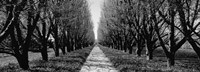 Trees along a walkway in black and white, Niagara Falls, Ontario, Canada Fine Art Print