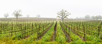 Oak trees in a vineyard, Guerneville Road, Sonoma Valley, Sonoma County, California, USA Fine Art Print