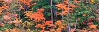 "Forest in Norikura Gifu Japan by Panoramic Images - 37"" x 12"""