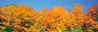 "Trees Autumn Ontario Canada by Panoramic Images - 37"" x 12"""