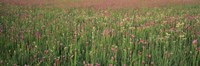 """Wildflowers blooming in a field, Lee County, Illinois, USA by Panoramic Images - 36"""" x 12"""""""