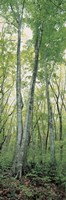"""Daisen Tottori Japan by Panoramic Images - 12"""" x 36"""", FulcrumGallery.com brand"""