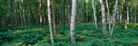 Birch Trees in Forest by Panoramic Images - various sizes