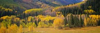 Aspen Trees in a Filed Telluride, Colorado by Panoramic Images - various sizes
