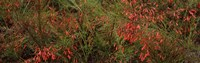 """Flowers on coral plants (Russelia equisetiformis), Longboat Key, Manatee County, Florida by Panoramic Images - 38"""" x 12"""", FulcrumGallery.com brand"""