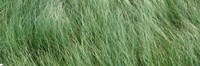"""Grass in the field, Adirondack Mountains, New York State, USA by Panoramic Images - 37"""" x 12"""""""