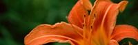 "Close-up of Orange Daylily (Hemerocallis fulva) by Panoramic Images - 37"" x 12"""