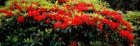 """Red Rhododendrons, Shore Acres State Park, Coos Bay, Oregon by Panoramic Images - 36"""" x 12"""""""