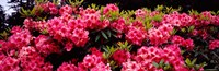 """Pink Rhododendrons plants in a garden, Coos Bay, Oregon by Panoramic Images - 37"""" x 12"""""""