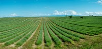 """Lavender field just days prior to flowers emerging, Plateau de Valensole, Provence-Alpes-Cote d'Azur, France by Panoramic Images - 25"""" x 12"""""""